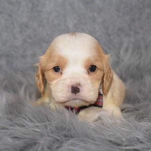cockalier puppies for sale in DE