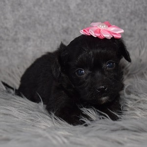 yorkichon puppies for sale in NY