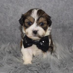 Shih Tzu mix puppies for sale in DE