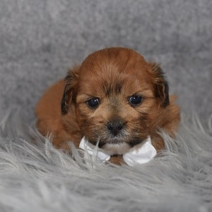 Shih Tzu mix puppies for sale in VT
