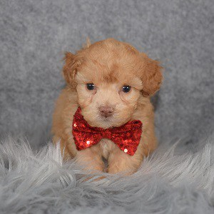 Poodle puppies for sale in PA