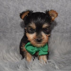 Yorkishire terrier puppies for sale in DE