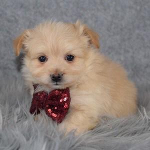 Maltese mix puppies for sale in VA