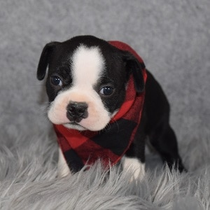 Boston Terrier puppies for Sale in NJ