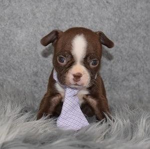 Boston Terrier puppies for Sale in RI