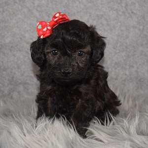 Havapoo puppies for sale in NY