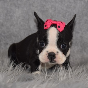 frenchton puppies for sale in MD