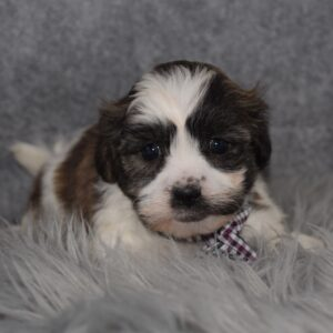Shichon puppies for sale in NJ
