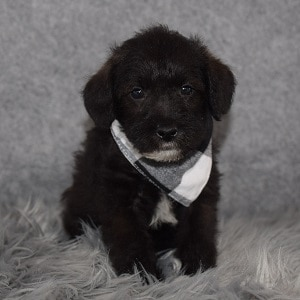 Schnoodle puppies for sale in PA