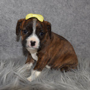 Caviston Puppies for Sale in NY