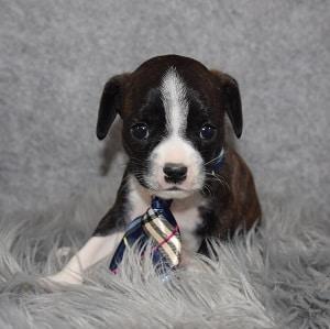 Caviston Puppies for Sale in RI