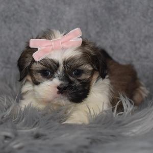 Shih Tzu Puppy Adoptions in DE