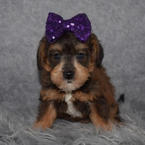 Schnoodle puppies for sale in CT