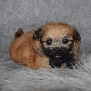 Pomeranian mix puppies for sale in PA