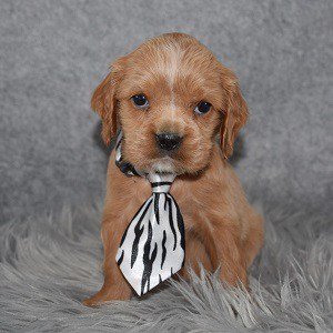 Cavapoo puppies for sale in NJ