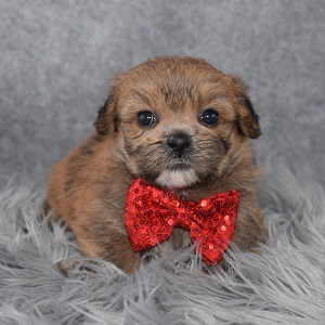 yorkie mixed puppies for sale in MD
