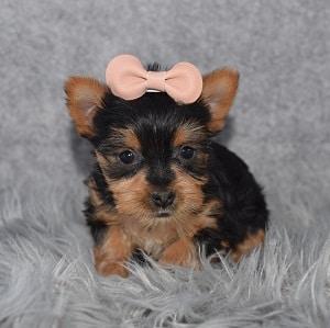Yorkie puppy adoptions in VA