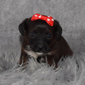 jackapoo puppies for Sale in MD