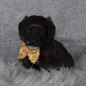 jackapoo puppies for Sale in NY