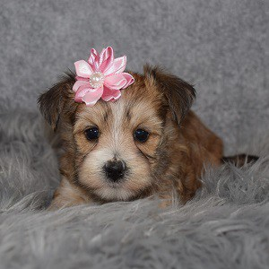 Morkie puppies for sale in CT