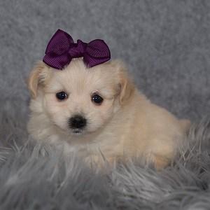 Maltest mix puppy adoptions in NJ