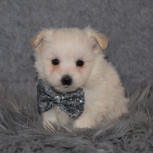 Maltese mix puppies for sale in NJ