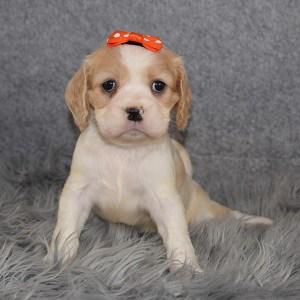 cockalier puppies for sale in RI