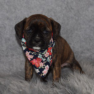 Caviston Puppies for Sale in Washington DC