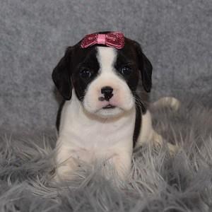 Caviston Puppies for Sale in VA