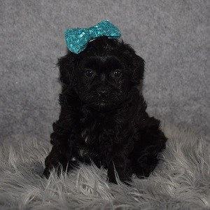Shihpoo puppies for sale in FL