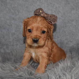 Cocker puppies for sale in Washington, DC