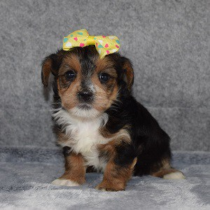 yorkichon puppies for sale in VA