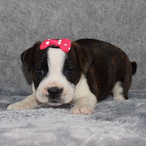 bojack puppies for sale in CT