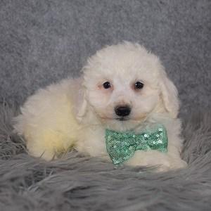 Bichon puppies for sale in NJ
