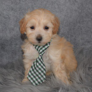Maltipoo puppies for sale in MD