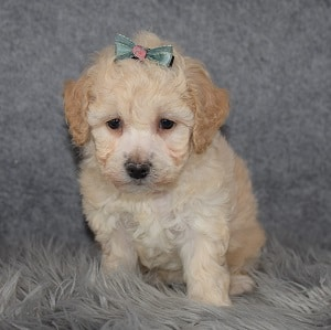 Bichonpoo puppies for sale in MD