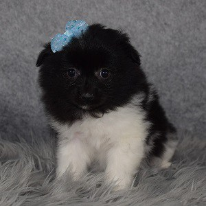 Pomeranian mix puppies for sale in VA