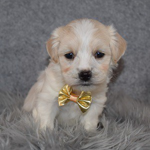 Havapoo puppies for sale in MD