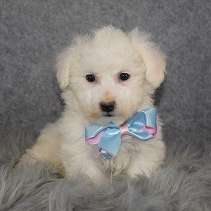 Bichon puppies for sale in DE