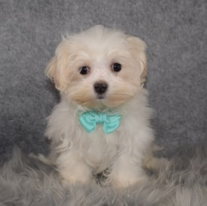 Maltest Puppies for Sale in PA