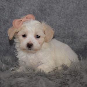 Maltichon puppies for sale in NJ