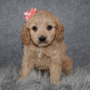 Cockapoo puppies for sale in WV