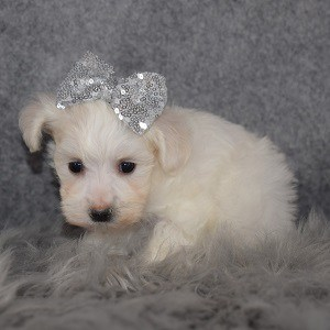 Maltichon puppies for sale in PA
