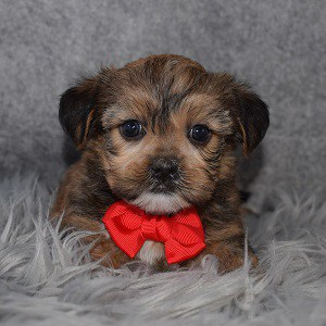 Shorkie puppies for sale in NJ