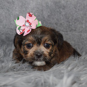 Shorkie puppies for sale in CT