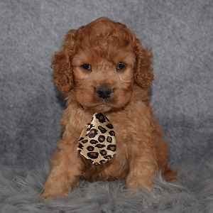 Cockapoo puppies for sale in ME