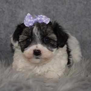 morkie puppy adoptions in MD