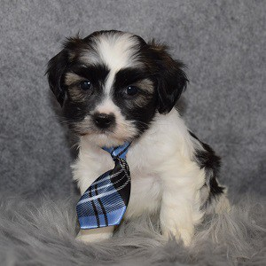 Hava Tzu puppies for sale in CT