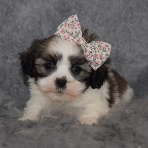 Hava Tzu puppies for sale in RI