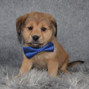 teddypoo puppies for sale in PA